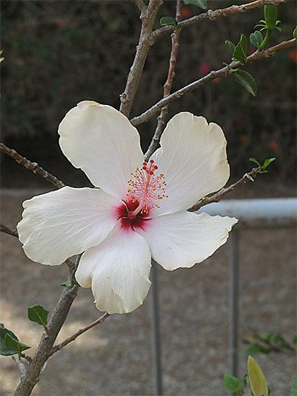 fleur d 39 hibiscus blanche fleurs nicosie chypre. Black Bedroom Furniture Sets. Home Design Ideas