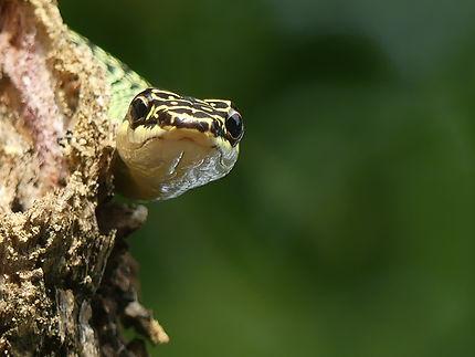 Serpent volant à Rawai Beach, Thaïlande