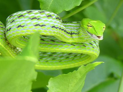 Serpent liane à Rawai Beach, Thaïlande