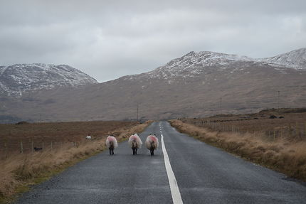 Brokeback moutons, Connemara