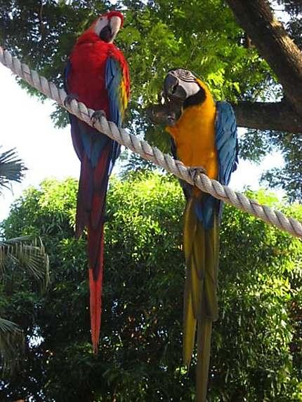 Perroquets Perroquets Oiseaux Jardin Botanique De Deshaies