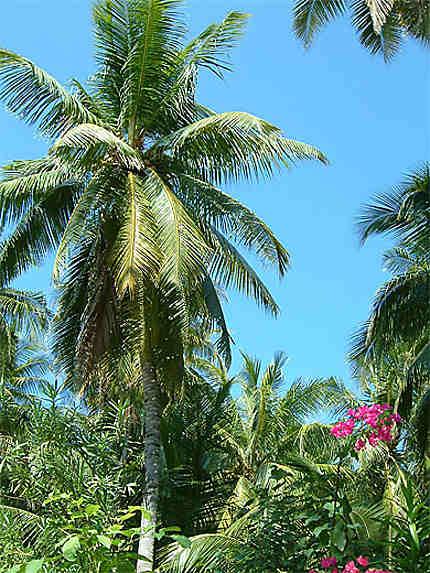Palmier de Biyadhoo