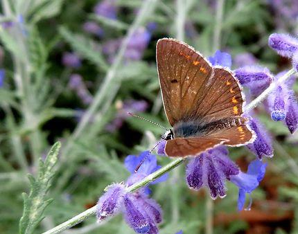 Papillon sur fleur de lavande
