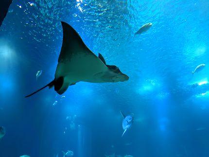 Raie nageant à l'Océanorium de Lisbonne
