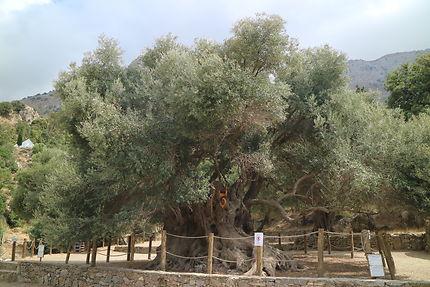 Le plus vieil olivier crétois