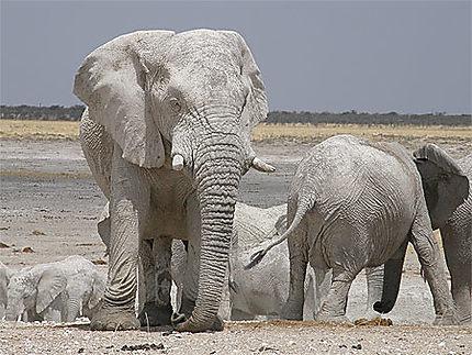 Eléphants blancs