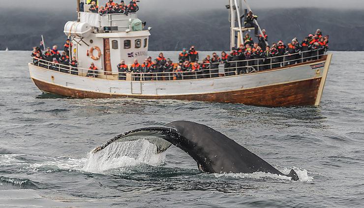 Akureyri et Husavik, sur les traces des baleines