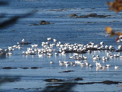 Oies des neiges à Grand-Métis