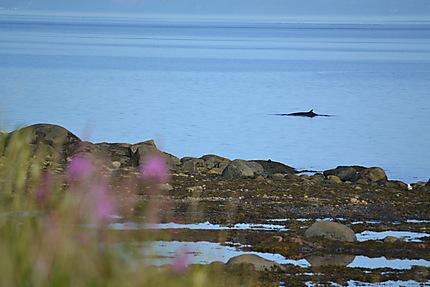 Baleine au Canada
