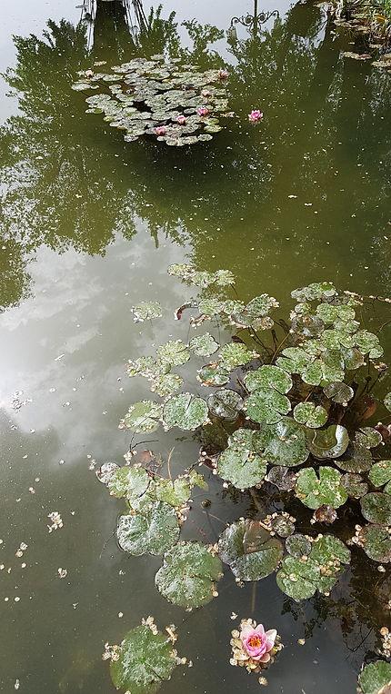 Nymphéas dans les jardins de l'Alcazar de Cordoue