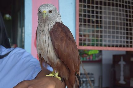 Un aigle se pose sur la main
