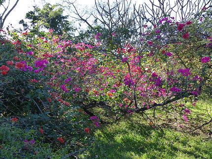 Arbustes en fleurs, jardin botanique de Deshaies : Fleurs : Arbres ...