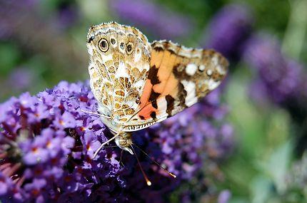 Papillon européen dans les Pays de la Loire