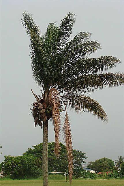 Le palmier Maripa
