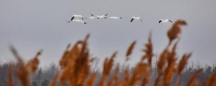 Les oies sauvages à Baie-du-Febvre