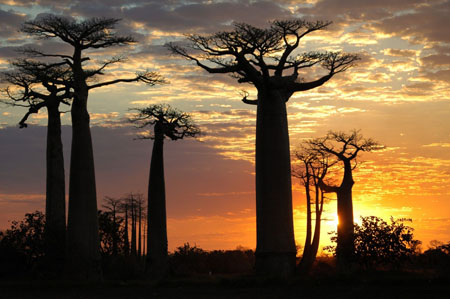 all e des baobabs coucher de soleil arbres all e des baobabs morondava tul ar toliara. Black Bedroom Furniture Sets. Home Design Ideas