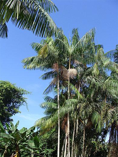 le palmier pinot ou wassa arbres fleuve maroni guyane. Black Bedroom Furniture Sets. Home Design Ideas