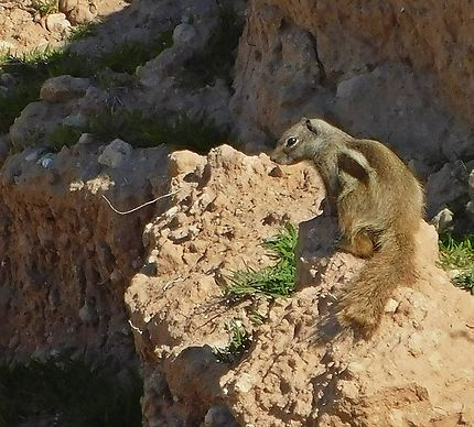 Souira Kedima - Un écureuil du littoral