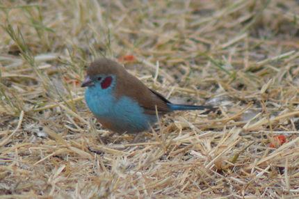 Oiseau cordon bleu à joues rouges