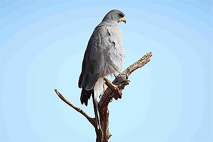 Autour ailes grises