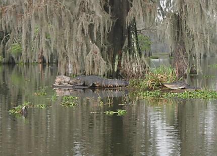 Chercher l'alligator!