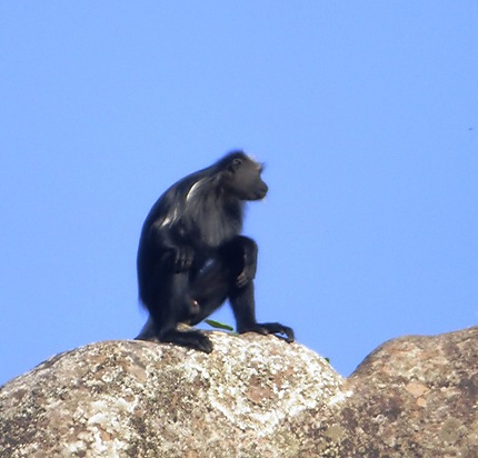 Colobe noir blanc de Guinée