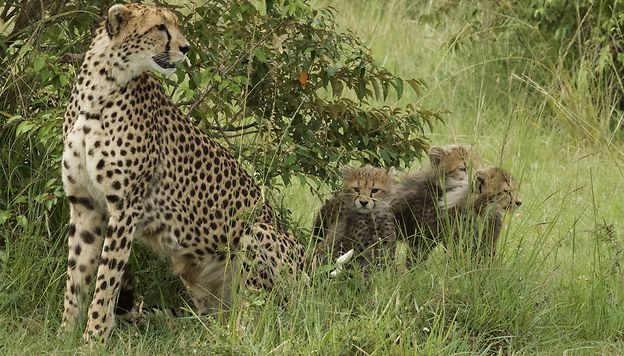 9 jours au coeur du Masai Mara : « Looking for Imani » malamille
