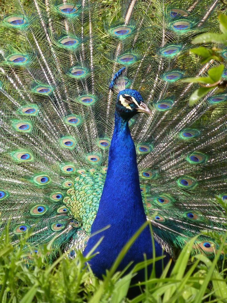 Symphonie de couleurs, paon à Terra Botanica, Pays de la Loire