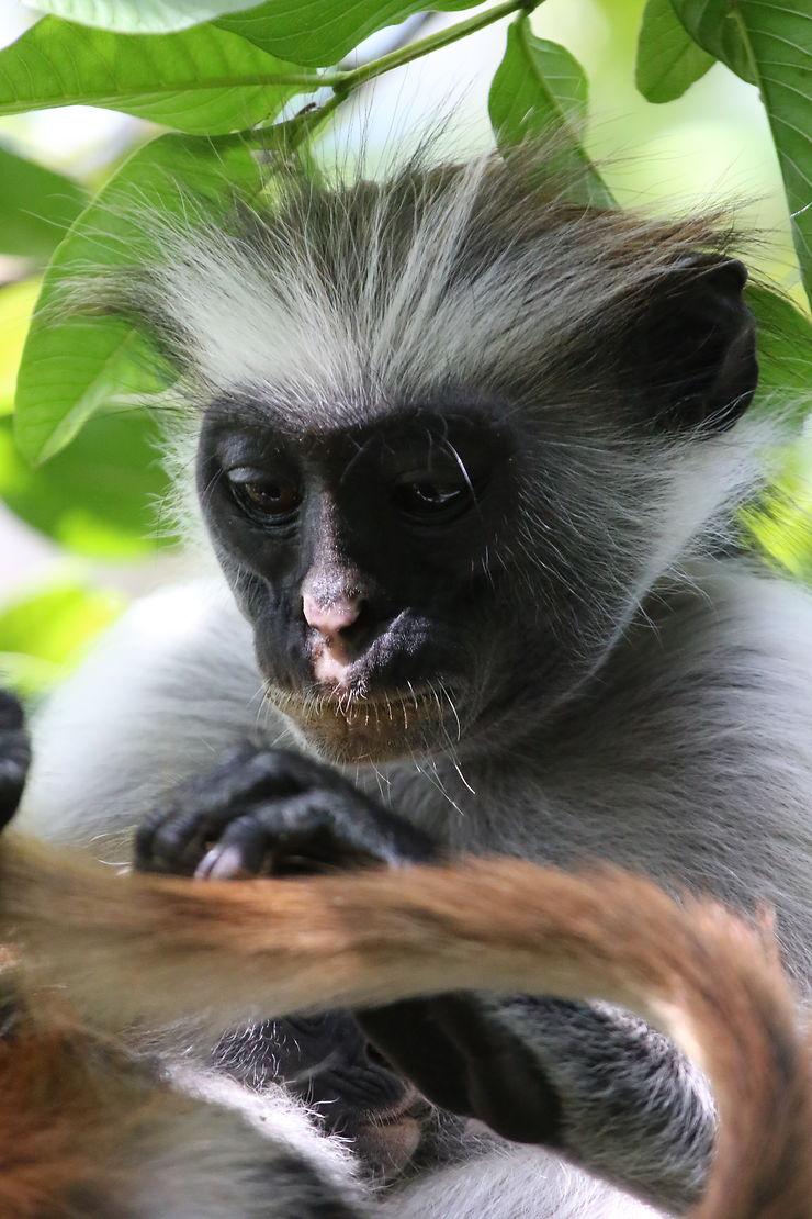 Portrait de singe à Zanzibar