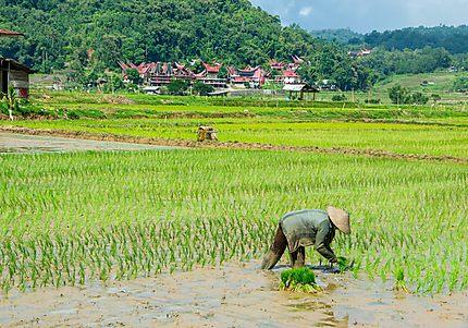 Rizières près de Rantepao