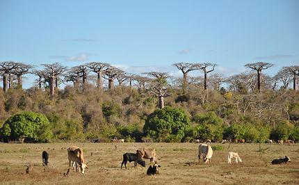Baobabs Suarezensis a Ambilo
