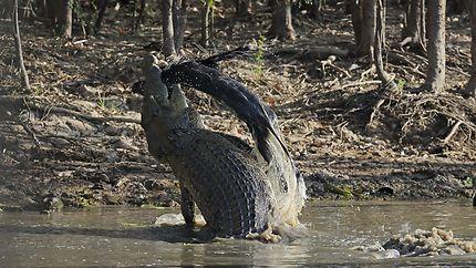Crocodile Australien à Kakadu