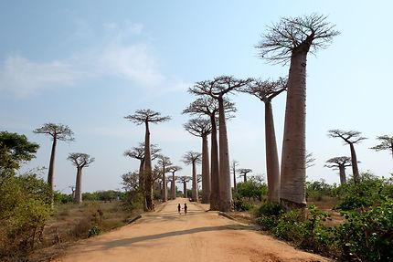 Madagascar et son allée des Baobabs