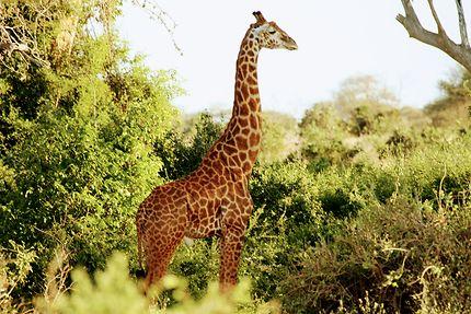 Girafe au parc de Tsavo, Kenya