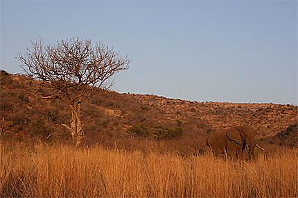 Un éléphant du Pilanesberg