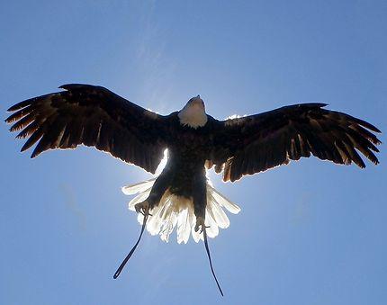 Aigle survolant un château cathare