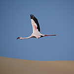 Vol de Flamingo