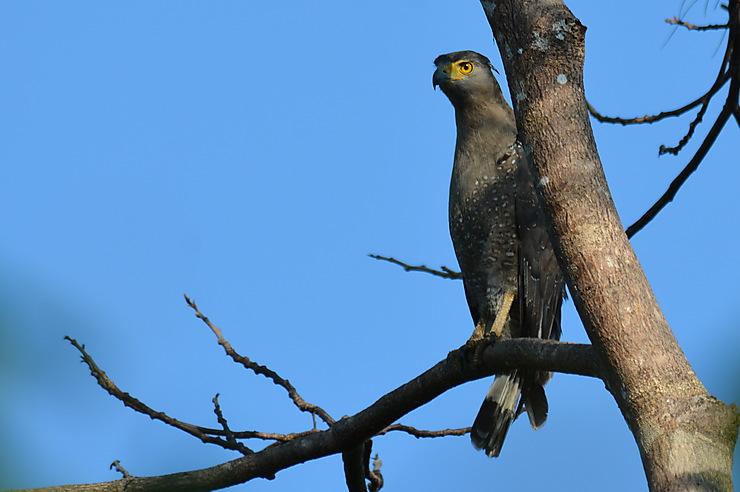 Serpentaire bacha, Parc national de Ream