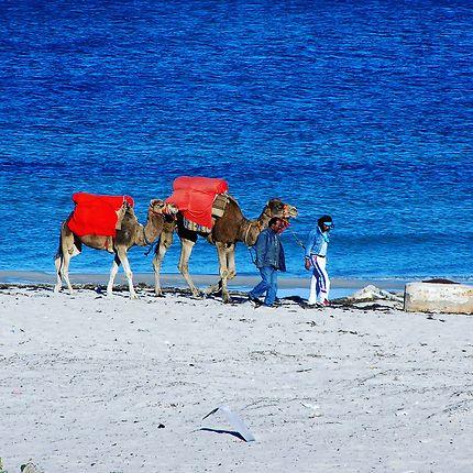 Dromadaires Tunisie