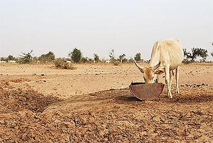 Les vaches sacrées du Fouta Toro - Sénégal
