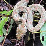 Snake dangereux