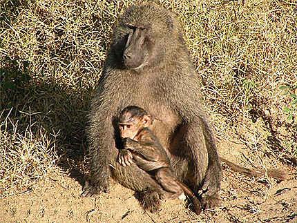 Maman babouin et son bébé