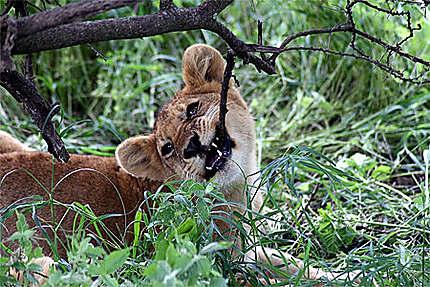 Le lionceau se fait les dents