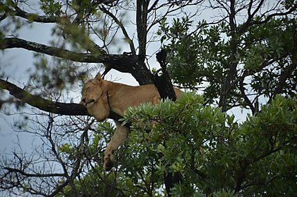 Lionne aux abois