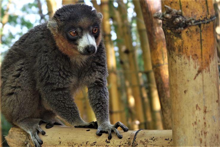 Réserve d'Analamazoatra : au royaume de l'indri indri malgache