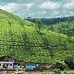 Aux pieds du champ de thé