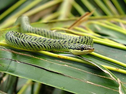 Serpent volant d'Asie