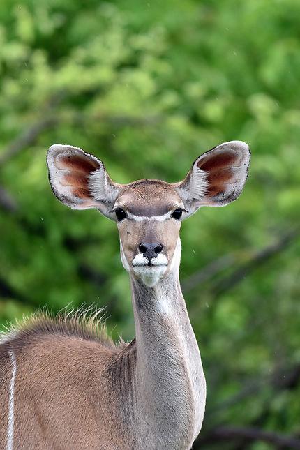 Koudou à Moremi Game Reserve