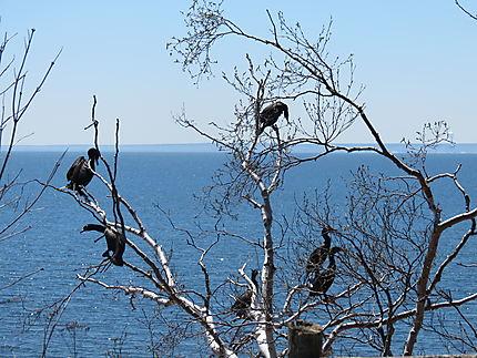Les cormorans à Caplan