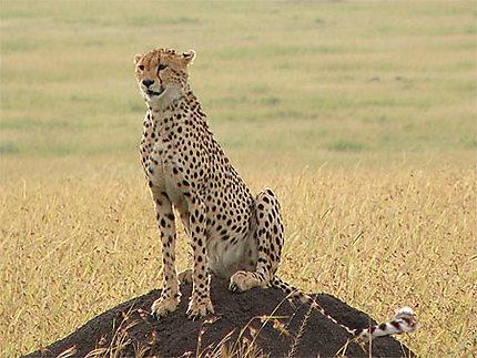 L'élégance du guépard